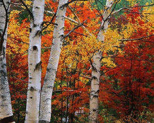 White Birch in Front of Maple Trees
