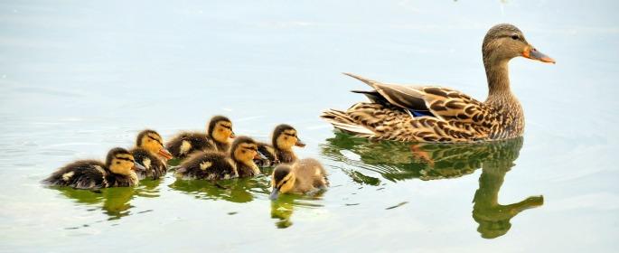 mallard-ducks-934518_1920.jpg